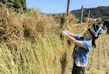 皆生温泉のオリジナル日本酒に使う酒米の稲刈りで、刈り取った稲を「稲架」に掛ける旅館の若旦那ら=25日午前、鳥取県伯耆町