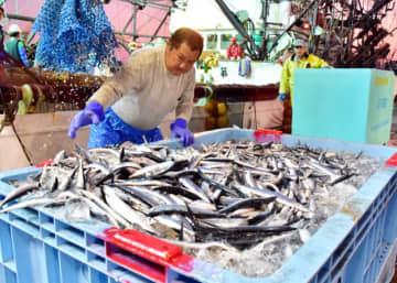 宮古港に今季初めて水揚げされたサンマ。記録に残る中で最も遅く、漁業者は先行きに不安を募らせる=2日午前5時10分、宮古市