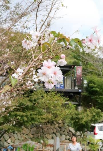 見頃を迎えた「十月桜」=秦野市寺山