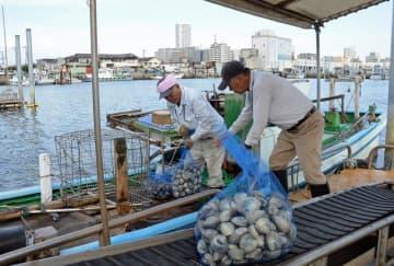 船橋市沖の三番瀬で採れたホンビノス貝を水揚げする漁師(左)=9月30日、船橋漁港