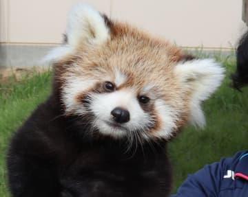 名前が「令明」に決まり一般公開されたレッサーパンダの赤ちゃん(京都府福知山市猪崎・福知山市動物園)