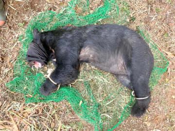 捕獲されたツキノワグマ(県自然環境保全課提供)