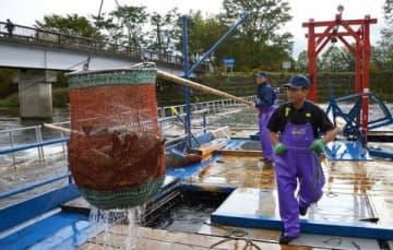 稼働のピークを迎えたインディアン水車。水揚げされた秋サケは採卵・授精施設へ運ばれる=9日