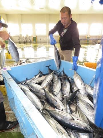 八戸港に水揚げされた1本釣りの「戻りガツオ」=9日、八戸市第3魚市場