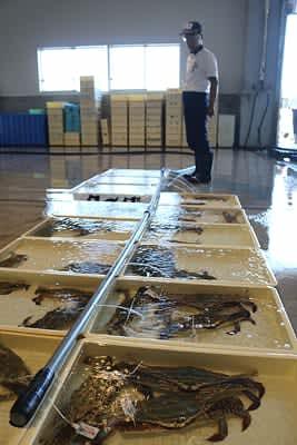 初水揚げされ競り場に並べられた「越のわたり蟹」