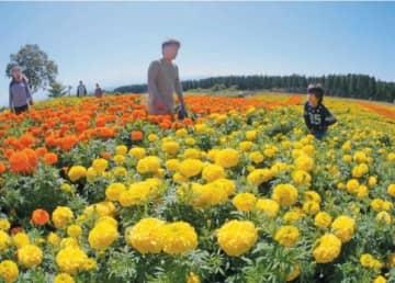 じゅうたんのように広がるマリーゴールドの花畑=10日午前、竹田市久住町のくじゅう花公園