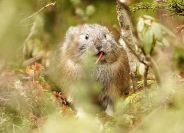 北海道鹿追町の然別湖近くの岩場で餌を食べるエゾナキウサギ=11日
