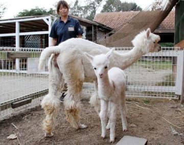 誕生したアルパカの赤ちゃん(手前)と母親のルーシー
