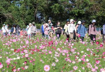 コスモスの花々を楽しみながらスタートする参加者=佐世保市、展海峰