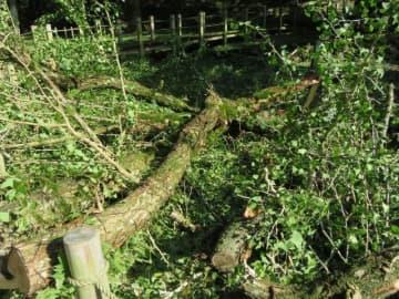 折れて落下した大イチョウの枝