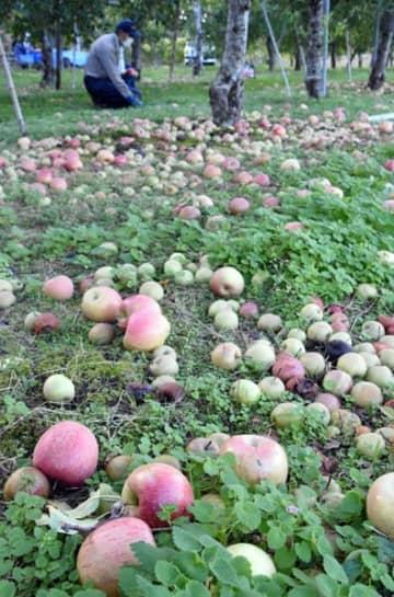 台風19号の猛烈な風雨で、収穫を前に落果したリンゴ。農林水産業の被害が各地で報告されている=奥州市江刺愛宕