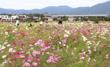 台風の影響を受けながらも元気に花を咲かせたコスモス(亀岡市吉川町)
