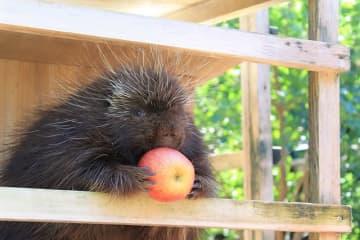 大きなリンゴをガシッとつかみ、かぶりつくのかと思いきや…(提供:名古屋市東山動植物園)