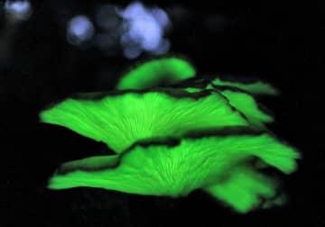 夜の森で発光するツキヨタケ(16日午後6時20分、高島市朽木生杉)=40秒露光
