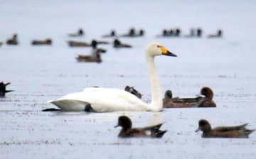 今年も琵琶湖に飛来したコハクチョウ(滋賀県長浜市湖北町今西)