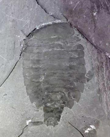 華北プレートで5億年前の節足動物「シドネイア」を発見