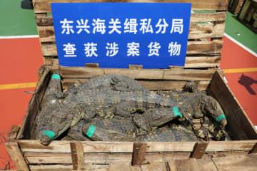 南寧税関、重大密輸案件を摘発 生きたシャムワニ806匹を押収
