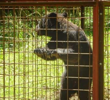 5月に美作市で捕獲されたツキノワグマ