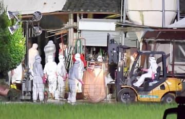 福井県越前市内の養豚場で殺処分の作業を続ける県職員ら=10月13日