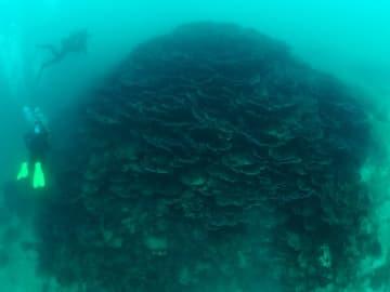 多々良島の沿岸に生息するオオスリバチサンゴの群落=五島市(上田浩一さん提供)