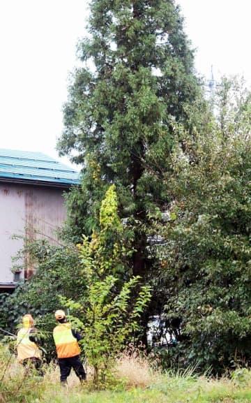 目撃されたクマ2頭が登っている杉の木(中央)=10月25日午後4時半ごろ、福井県勝山市芳野町1丁目