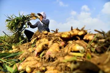 ショウガが収穫期迎える 日本にも輸出 山東省乳山市