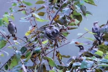 鳥が集まる街路樹。電線への対策後、より密度が高まっていた(9月5日、京都府京田辺市)