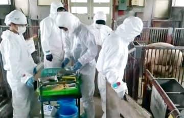 豚コレラ感染予防のため、豚へのワクチン接種の準備をする獣医師ら=10月25日、福井県坂井市の県畜産試験場(県提供)