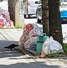 ごみ袋を突っつくカラス=7月11日、那覇市小禄(照屋崇男さん撮影)