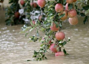 台風19号の影響で千曲川が決壊し、水につかったリンゴ=13日、長野市