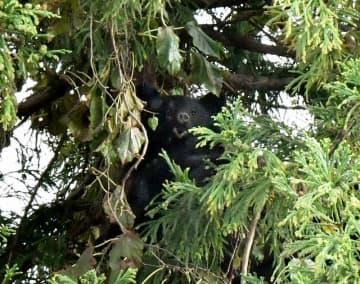 杉の木から顔をのぞかせるクマ=10月26日午後3時半ごろ、福井県勝山市芳野町1丁目