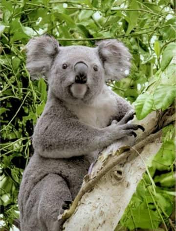 オーストラリアの野生のコアラ(コアラ基金提供・共同)