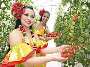 高糖度のミニトマト「ハワイアンズトマト」を収穫する箕川さん(左)とラウレアさん
