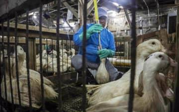 米ニューヨーク州の農場で餌を食べさせられるフォアグラ用のカモ=7月(AP=共同)