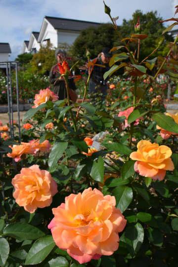 白壁の建物を背景に咲き乱れるバラ(京都府綾部市青野町・あやべグンゼスクエア)