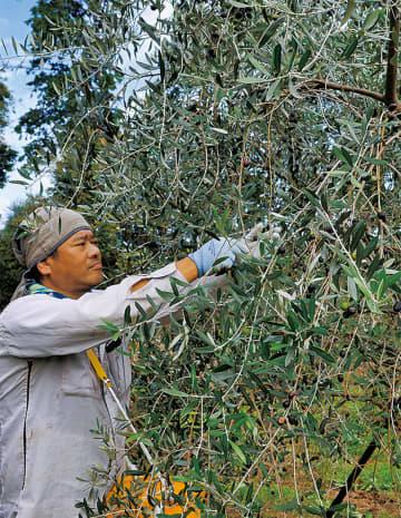 オリーブを収穫する濱田さん=10月26日