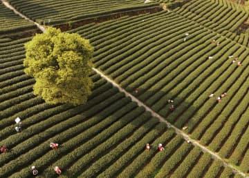 中国茶産業 年間生産量世界一、従事者数は1億人超