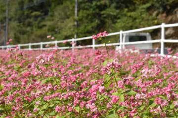 道の駅「酒谷」で満開となっているソバの花