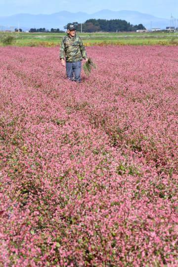 開花期を迎え、濃いピンク色に染まったあおもり藍の畑=1日、青森市飛鳥