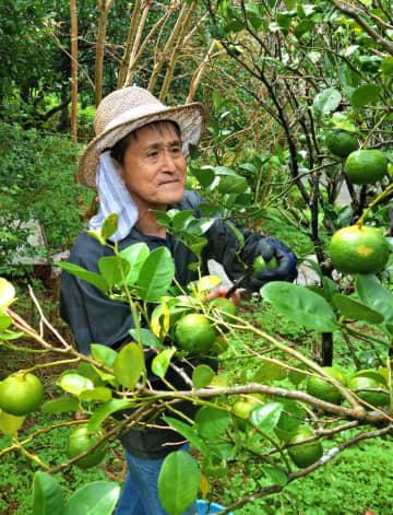 所有する畑でカーブチーを収穫しながら「無心になる。楽しいよ」と笑顔を見せる安里猛さん。元気になり、宜野湾市の自宅から家族の付き添いなく出掛けることも増えた=17日、本部町