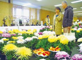 色とりどりの菊が来場者の目を楽しませている菊花展