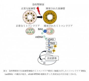 今回の研究の概要(画像: 東京大学の発表資料より)