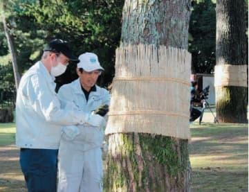 松の幹にこもを巻く市職員ら=5日午前、別府市の別府公園