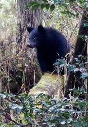 但馬地域で2017年11月に目撃されたクマ。子グマとみられる(県森林動物研究センター提供)