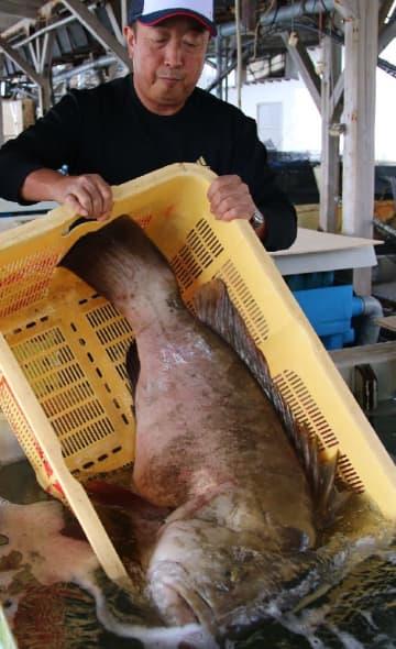 大瀬戸近海で取れた約30キロのクエ。鍋料理で提供する=10月30日、大瀬戸町漁協
