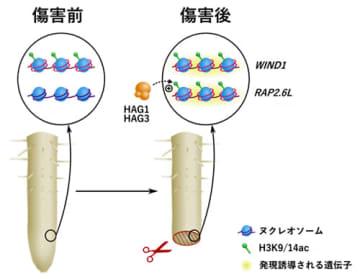 ヒストンアセチル基転移酵素HAG1とHAG3によるリプログラミング誘導の仕組み(画像:理化学研究所の発表資料より)