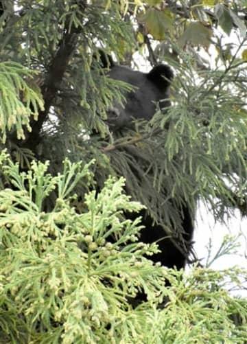 住宅密集地の木に居座ったクマ=10月26日、福井県勝山市芳野町1丁目