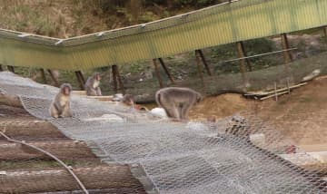 千葉県富津市の高宕山自然動物園で放し飼い状態となっているサル=7日午後