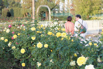 最盛期を迎えた秋バラが色とりどりに美しく咲くバラ園=伊奈町制記念公園
