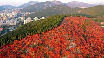 「半分赤い」秋景色 山東省済南市